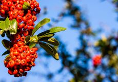 A bunch of red pyracantha stock images