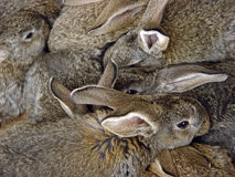 Bunch of rabbits. A crouded bunch of rabbits Stock Photography