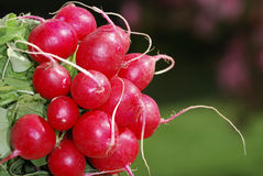 Bunch of radish Royalty Free Stock Photo
