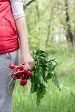 A bunch of radish in a hand. A girl holding a bunch of radishes in hand Royalty Free Stock Image
