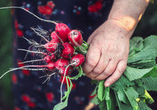 Bunch of radishes in hands Stock Photos