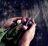 Bunch of radishes lies in female hands, selective Royalty Free Stock Photo