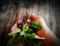 Bunch of radishes lies in female hands, selective Royalty Free Stock Image
