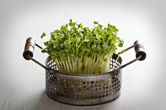 Bunch of radishes microgreens. In a metal basket Stock Photos