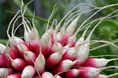 Bunch of radishes. With roots toward to viewer Stock Photos