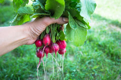 Bunch of radishes with tops in hand Stock Images