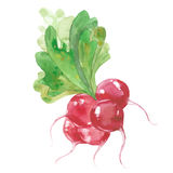 Bunch of radishes. Watercolor illustration on white background royalty free illustration