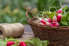 Bunch of radishes in a wicker basket on the table. Bunch of fresh radishes in a wicker basket outdoors on the table Stock Image