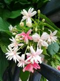 Bunch of rangoon creeper. A bunch of rangoon creeper flowers with beautiful pink color Stock Photography