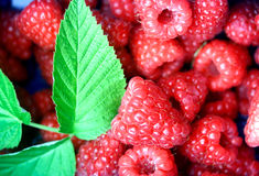 Bunch of raspberries in a punnet. Freshly picked from the farm, with a stalk of leaf royalty free stock photos
