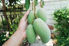 Bunch of raw fresh mango Royalty Free Stock Image