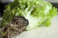 Bunch of raw organic green frisee salad with roots Royalty Free Stock Images