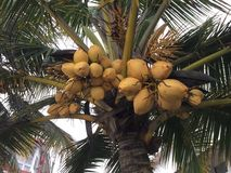 Raw tender coconuts in a bunch on the tree. A bunch of raw tender coconuts hanging from a coconut tree Stock Image
