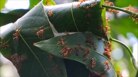 The bunch of red ants walking around its nest on mango tree. stock video