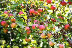 Bunch of red apples on a apple tree Stock Photos