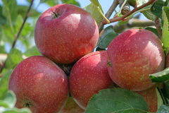 Bunch of Red Apples (Gala) on the trees Stock Images