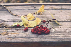 Bunch of red ash berry on rustic bench Stock Image