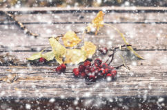 Bunch of red ash berry and snow Royalty Free Stock Photography