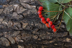 Bunch of red ashberry, sorbus on the tree bark, close-up Royalty Free Stock Photos