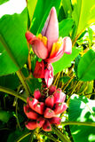 Bunch of red bananas Royalty Free Stock Photo