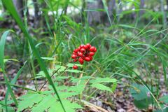 A bunch of red berries against a backdrop of forest herbs royalty free stock photography