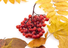 Bunch red berries on autumn leaves on a white background. Bunch red berries on autumn leaves Royalty Free Stock Images