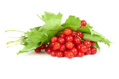 Bunch of red berries- guelder rose Stock Images