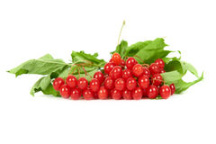 Bunch of red berries- guelder rose Royalty Free Stock Photography
