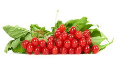 Bunch of red berries- guelder rose Royalty Free Stock Photos