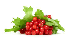 Bunch of red berries- guelder rose Royalty Free Stock Images