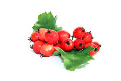 A bunch of red berries of hawthorn isolated Stock Photos