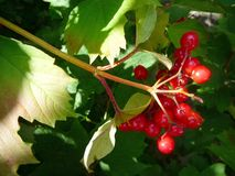 A bunch red berries on a summer day royalty free stock image