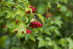 Bunch of Red Berries of Viburnum Guelder rose in garden after Royalty Free Stock Photo