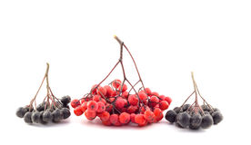 Bunch of red and black rowan on a white background. Bunch of red and black rowan Stock Photography