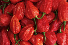 Bunch of red Buht jolokia. Peppers royalty free stock photos
