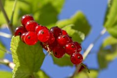 Bunch of red currant berries on a branch with leaves close-up against the azure sky. Ribes rubrum. Bunch of red currants on a branch with leaves close-up in royalty free stock photo