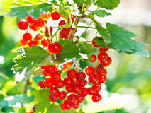 Bunch of red currant berries close up Royalty Free Stock Photo