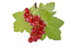 Bunch of red currant berries with green leaves on white background Royalty Free Stock Photo