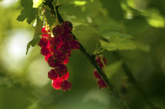 Bunch of red currant. A small bunch of red currant hanging on bush Stock Photos
