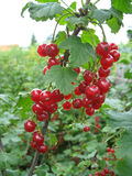 Bunch of red currant on a twig royalty free stock images