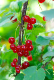 Bunch of red currants Stock Image