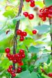 Bunch of red currants Stock Photos