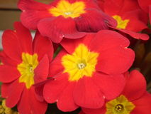 Bunch of red flowers Stock Photography