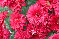Bunch of red flowers. With drops royalty free stock images