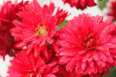 Bunch of red flowers. With drops stock photography
