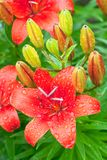 Bunch of red flowers lily on green background Stock Images