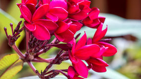 Bunch of red frangipani plumeria flowers on sunny day. Close up Stock Photo