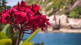 Bunch of red frangipani plumeria flowers on sunny day. Rocks and ocean on background Royalty Free Stock Photos
