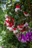 Bunch of red fuchsia Stock Images