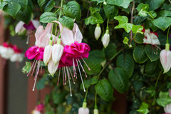Bunch of red fuchsia Royalty Free Stock Image